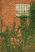 ENGLISH IVY ON BRICK WALL AND AROUND WINDOW