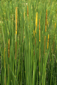 NARROW-LEAVED CATTAIL WITH POLLEN LOADED FLOWERS