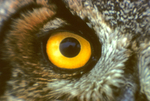GREAT HORNED OWL EYE
