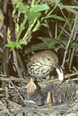 BROWN THRASHER REMOVING FECAL SAC FROM NEST