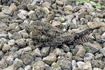 COMMON NIGHTHAWK CAMOUFLAGED IN GRAVEL