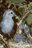 GRAY CATBIRD AT NEST FEEDING CATERPILLAR TO BABY