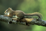 RED SQUIRREL RESTING ON BRANCH