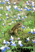 AMERICAN TOAD AND BLUE-EYED MARY FLOWERS