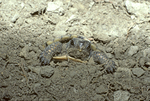 BABY EASTERN BOX TURTLE EMERGING FROM GROUND AFTER HATCHING FROM EGG