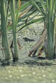 GREEN FROG IN CATTAIL SWAMP