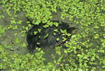 PAINTED TURTLE SWIMMING IN DUCKWEED