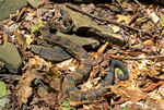 TIMBER RATTLESNAKE CAMOUFLAGED AMONGST ROCKS AND DRIED LEAVES