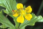 CRAB SPIDER ON COMMON CINQUEFOIL FLOWER