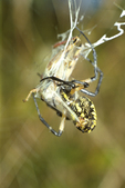 GARDEN SPIDER WRAPPING GRASSHOPPER IN SILK