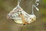 GRASSHOPPER WRAPPED IN SPIDER SILK
