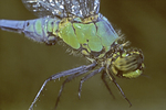 GREEN DARNER DRAGONFLY BODY COLORS