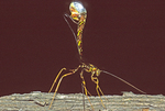 GIANT ICHNEUMON WASP LAYING EGGS