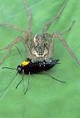 NURSERY WEB SPIDER WITH GOLD-BACKED SNIPE FLY PREY