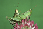 MATING CLIPPED-WING GRASSHOPPERS