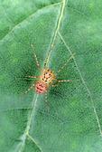 TINY OECOBIID SPIDER