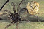 WOLF SPIDER WITH BABIES HATCHING FROM EGG SACK