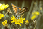 AMERICAN COPPER BUTTERFLY NECTARING ON YELLOW HAWKWEED