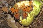 COMMA BUTTERFLY NECTARING ON ROTTING PEAR