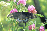 EASTERN BLACK SWALLOWTAIL BUTTERFLY ON RED CLOVER FLOWERS
