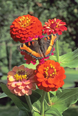 MILBERT'S TORTOISESHELL BUTTERFLY ON ZINNIA FLOWERS