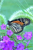 MONARCH BUTTERFLY ON GARDEN PHLOX FLOWERS