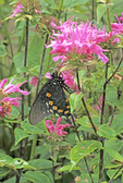 DEW-COVERED PIPEVINE SWALLOWTAIL BUTTERFLY ON BEE BALM FLOWER