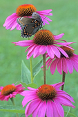 RED-SPOTTED PURPLE BUTTERFLY ON PURPLE CONEFLOWER