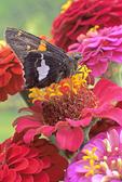SILVER-SPOTTED SKIPPER BUTTERFLY ON ZINNIA FLOWER