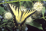 TIGER SWALLOWTAIL BUTTERFLY NECTARING ON BUTTONBUSH