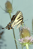 TIGER SWALLOWTAIL BUTTERFLY NECTARING ON COMMON TEASEL FLOWERS