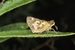 DEW-COVERED YELLOWPATCH BUTTERFLY