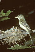 ACADIAN FLYCATCHER AT NEST