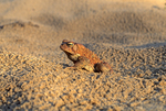 AMERICAN TOAD PORTRAIT IN SAND