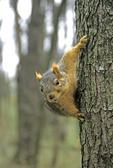 EASTERN FOX SQUIRREL CLIMBING ON TREE