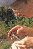 LADY REMOVING BLACK-THROATED GREEN WARBLER FROM MIST NET