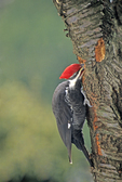 PILEATED WOODPECKER PROBING FOR INSECTS
