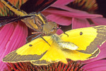 DRAGONFLY WITH SULPHUR BUTTERFLY PREY