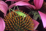 GLADIATOR KATYDID ON PURPLE CONEFLOWER