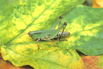 GREEN GRASSHOPPER NYMPH