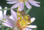 JAGGED AMBUSH BUG ON ASTER FLOWER