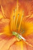 MEADOW KATYDID ON DAY LILY FLOWER