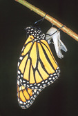 MONARCH BUTTERFLY AND EMPTY CHRYSALIS