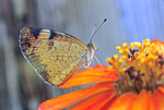 PEARL CRESCENT BUTTERFLY ON ZINNIA FLOWER