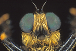 ROBBER FLY FACE