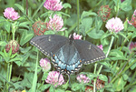 SPICEBUSH SWALLOWTAIL BUTTERFLY ON RED CLOVER FLOWER