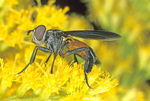 FEATHER-LEGGED FLY ON GOLDENROD