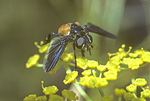 FEATHER-LEGGED FLY NECTARING ON WILD PARSNIP FLOWERS