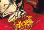 EASTERN TIGER SWALLOWTAIL BUTTERFLY NECTARING ON ZINNIA FLOWER