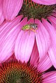 VIRESCENT GREEN METALLIC BEE ON PURPLE CONEFLOWER